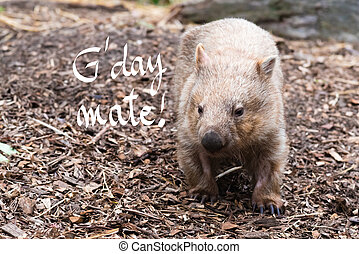 Close-up on an wombat, Australian native animal with G'Day...