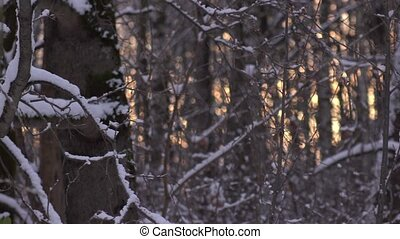 Beautiful snowy winter forest at sunset 4K pan shot -...