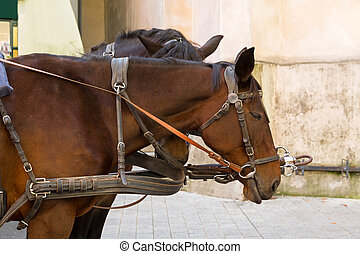 Closeup of Gypsy Horse with horse drawn carriage straps on...