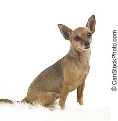 female pincher toy dog on white background