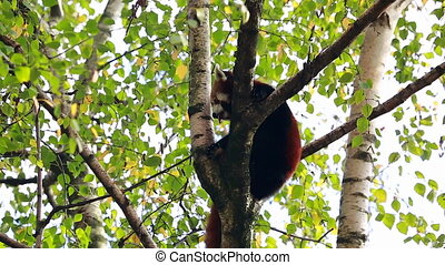 Red Panda On A Tree Branch - Beautiful Red Panda Perched On...