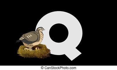 Letter Q and Quail (foreground) - Animated animal alphabet....