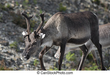 full grown shaggy Reindeer with peeling shedding velvet on...