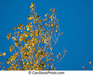 Top of poplar tree against the blue sky in autumn - Closeup...