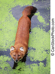 Dhole - A female dhole standing in the water