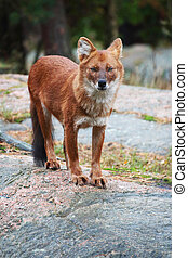 Dhole - A female dhole standing on a cliff