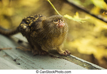Pygmy marmoset - A cute pygmy marmosetstanding on a log
