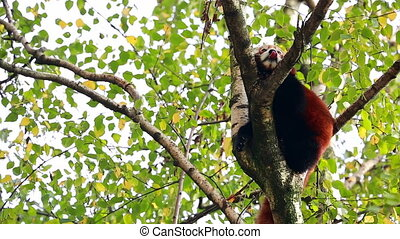 Adorable Red Panda On A Tree Branch - Adorable Red Panda...