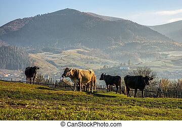 few cows on hillside meadow in mountains - Carpathian rural...