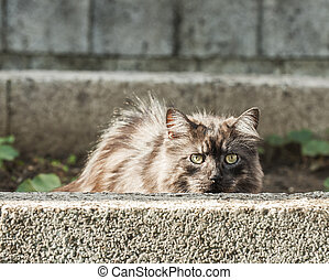 Silver cat is hidding behind a wall - Silver cat is hidding...