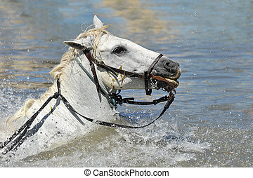 swimming Camargue horses - swimming Camargue horseswith...