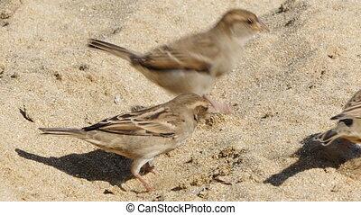 Sparrow birds jumping on the sand
