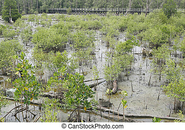 Green mangrove tree in the mangrove forest. - Green mangrove...