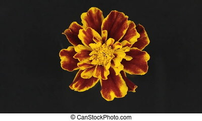 Slow rotation of a yellow flower on a black background