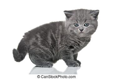 little british kitten cat