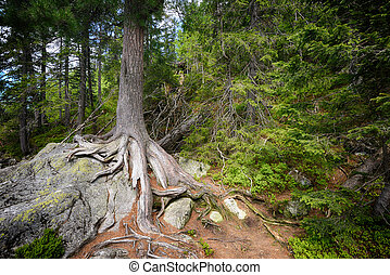 tree roots - Large tree roots on stones in forest