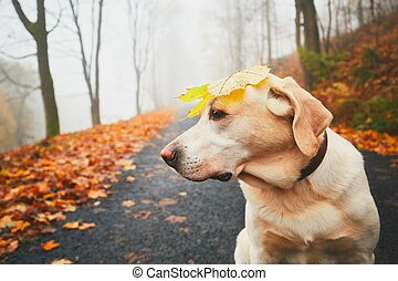 Funny dog in autumn - Walk with dog in autumn. Funny old...