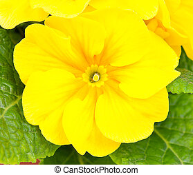 Blossoming yellow primrose - Bright blossoming yellow...