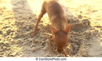 Cute miniature pinscher puppy on the beach - Cute miniature...