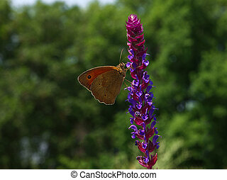 Butterfly orange  Hyponephele lycaon at a sunny flower