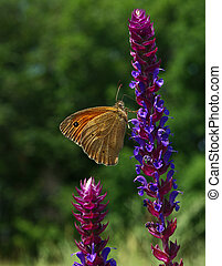 Butterfly orange Hyponephele lycaon at a sunny flower...