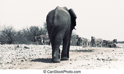 Huge afican elephant walks away. Herd of zebras on the...