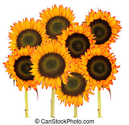 bunch of sunflowers for background