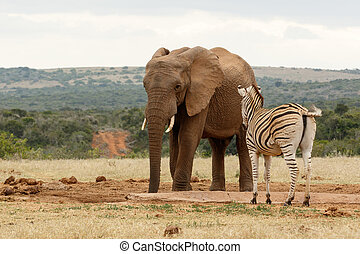 Bush Elephant checking out the Zebra at the watering hole.