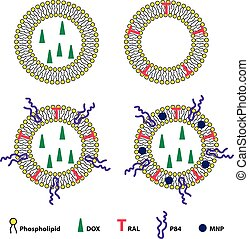 Liposomes Drug Delivery System Sheme - Medical vector...