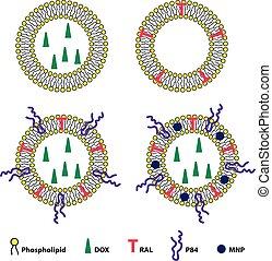 Liposomes Drug Delivery System Sheme - Medical vector...