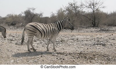 Zebras walking in dry african savanna - Zebras walking in...