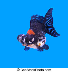 beautiful black moor goldfish in the aquarium