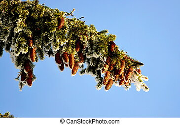 Big shots and nuts in Siberia grow on conifers