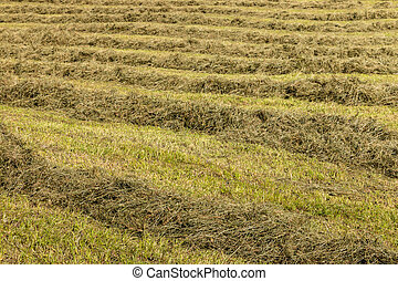 grass hay drying on meadow - closeup of grass hay drying on...