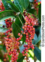 Thai blueberry on tree