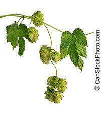 Detail of hop cones (Humulus Lupulus) isolated on white...