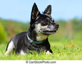 Small breed dog Chihuahua lying in the grass