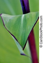 green canna Lily leaf... - Close up of green canna Lily leaf...