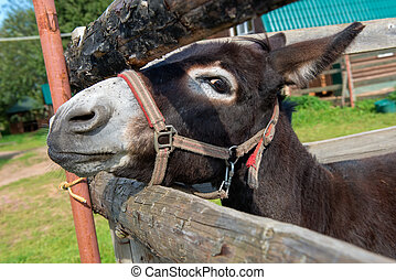 Front view of sad donkey with red and white halter looking...