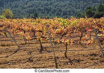 Vineyard with bobal grape, closeup, back light - Back light...