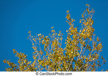 Top of poplar tree against the blue sky in autumn - Detailed...