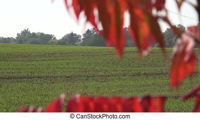 Farm field with winter crops and autumn color leaves. Focus...
