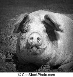 black and white portrait of domestic pig - black and white...