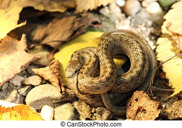camouflage of smooth snake on autumn forest ground (...