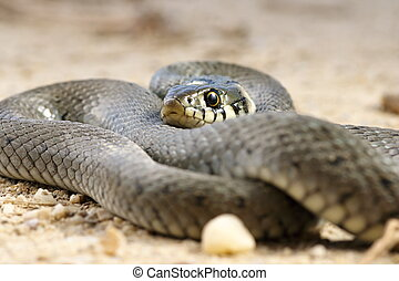 close up of grass snake basking on the ground ( Natrix )