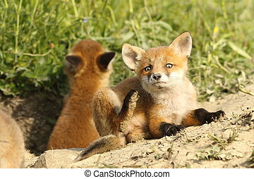 european fox cubs near the den ( Vulpes vulpes )