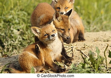 family of foxes near the den - family of young red foxes...