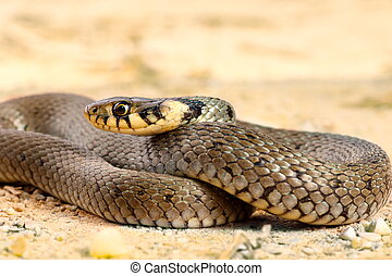 grass snake close up - juvenile grass snake close up (...