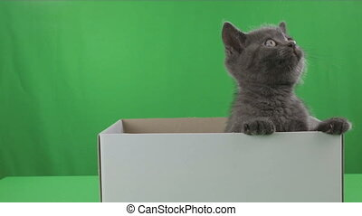 Beautiful little kitten Scottish Fold in box on Green Screen...
