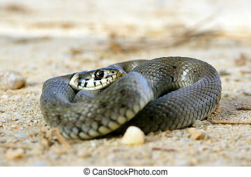 grass snake on ground - grass snake basking on the ground (...